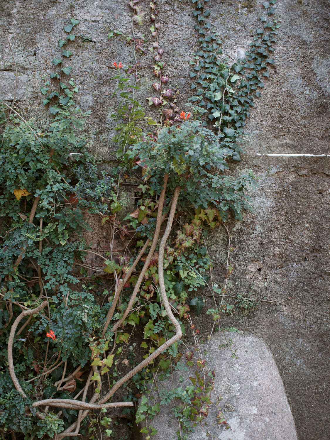 rustic ivy wall in Casa dos Penedos Sintra by Portugal Wedding Photographer